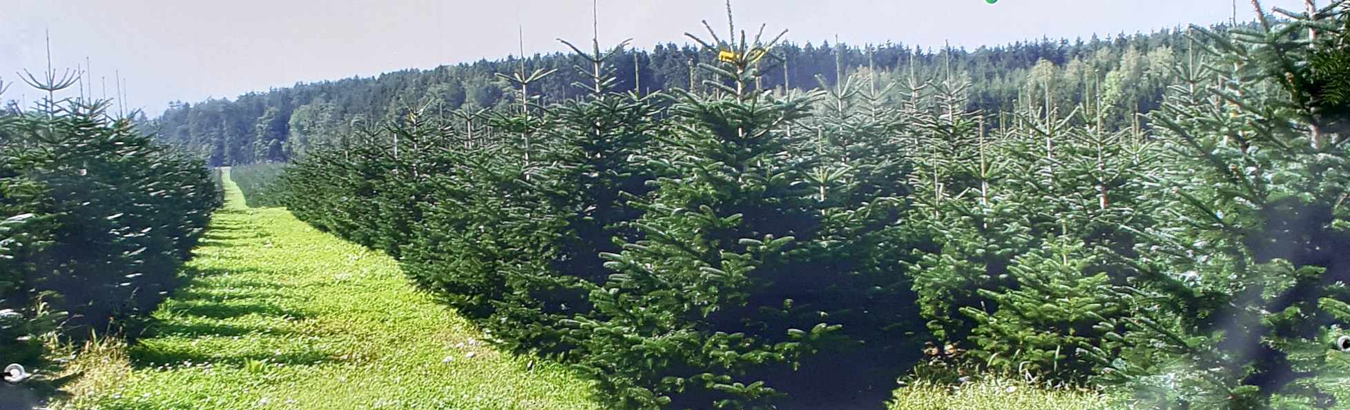 Wann Weihnachtsbaum Kaufen.Weihnachtsbaum Kaufen Unbehandelte Tannenbäume Beim Zehmerhof Oder
